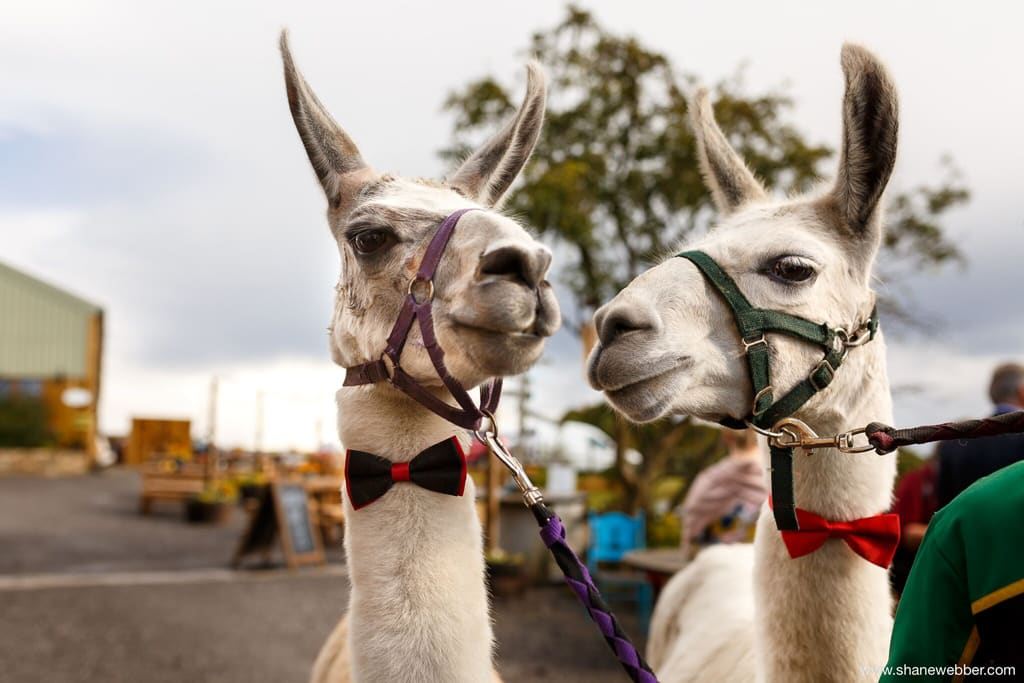 wedding-with-llamas-wellbeing-farm